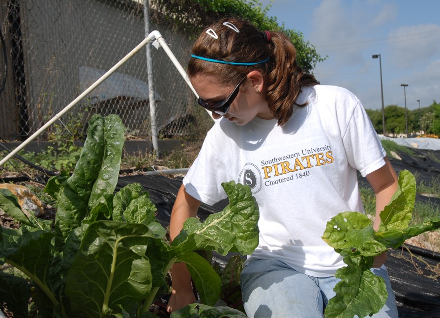 Kira McEntire harvests swiss chard from Southwestern's community garden. McEntire was able to work in the garden this...
