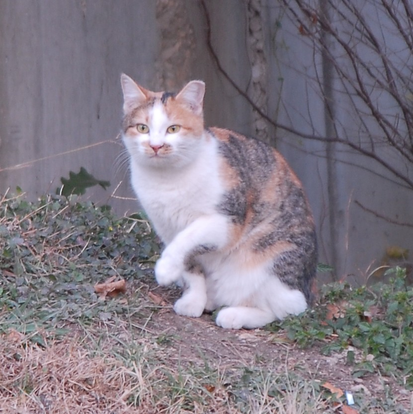 This calico cat is one of several feral cats on campus that sociology major Alex Brown has been feeding since becoming awa...