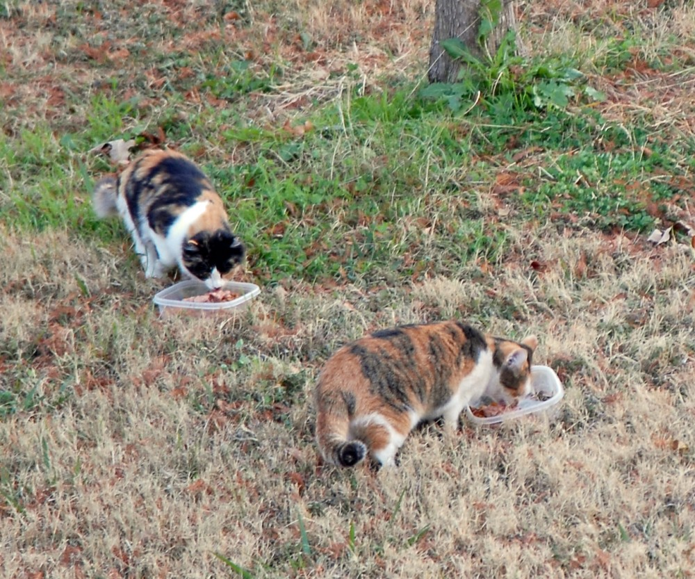 Two calico cats enjoy their dinner - away from Jack.