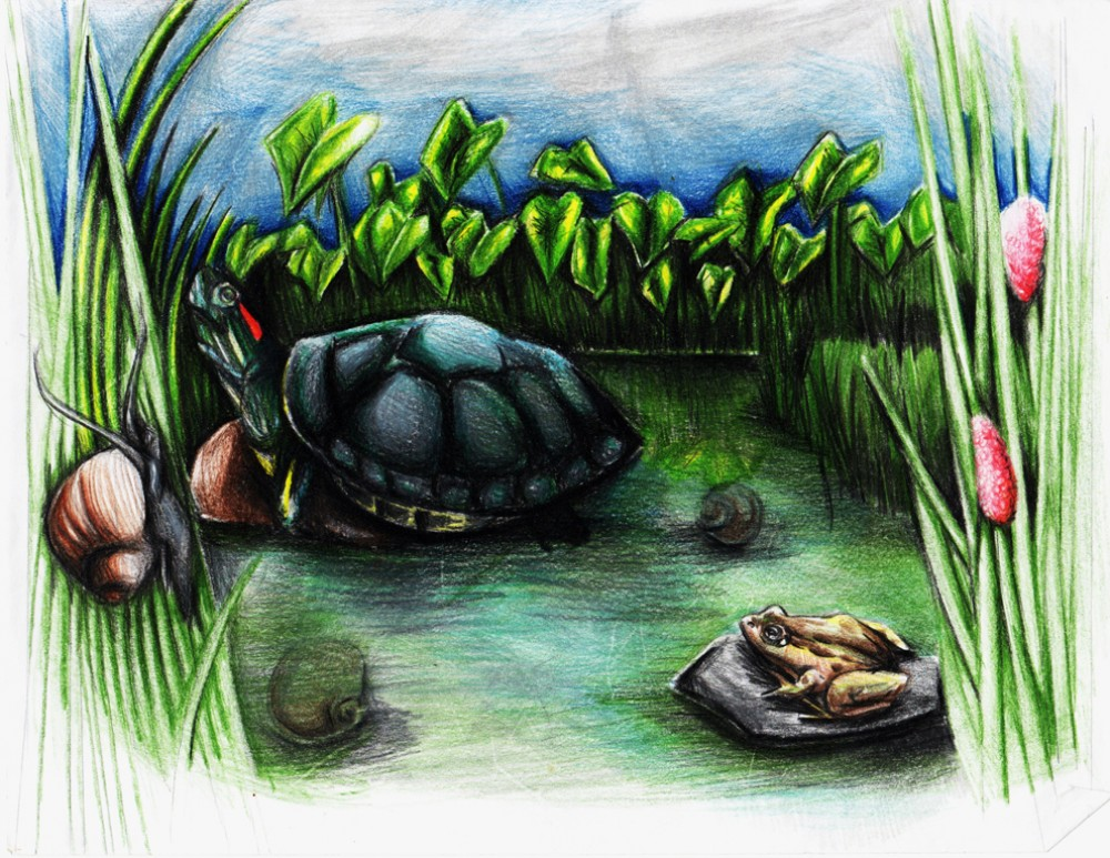 Allyson Plantz made this drawing to explain her research on the predation of apple snail eggs by turtles known as red-eare...