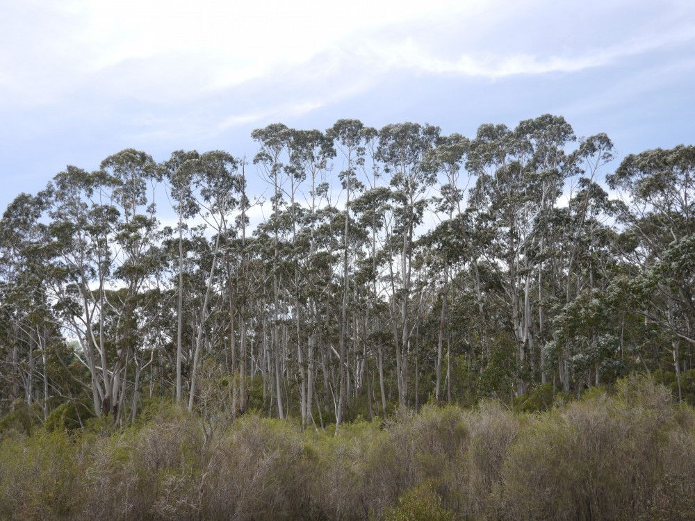 Stand of Eucalyptus trees in the Gully, a historic Aboriginal site in Katoomba. The Gully served ...