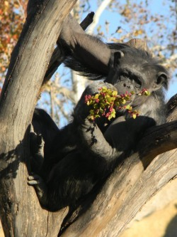 This female chimp named Rosebud is one of Stephanie Braccini's favorite animals at the Saint Louis Zoo, where she serves a...