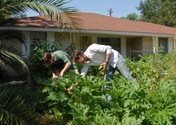 Lloyd Minick and Michael Hanan pick zucchini from the front yard of their house in East Austin. The two recently started t...