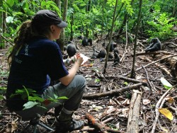 2008 graduate Dominique (Niki) Bertrand is shown here studying black monkeys in Indonesia's Tangkoko Nature Reserve. Bertr...