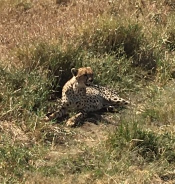 Cheetah in Seregeti.